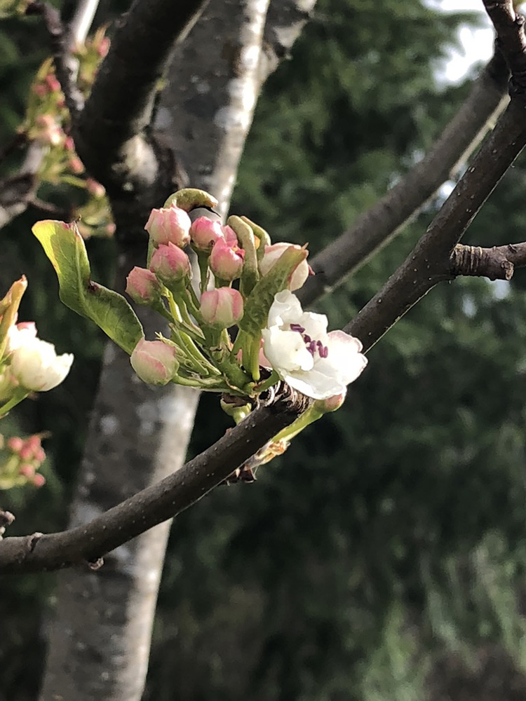 dogwood tree branches, flower, and buds; trauma healing